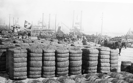 Cotton on the levee - Location Unknown
