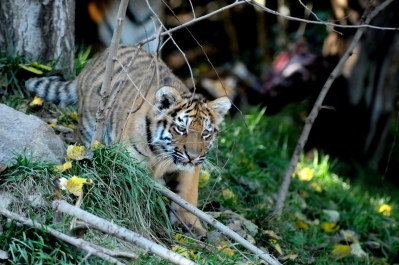 Amurtiger (Panthera Tigris Altaica)