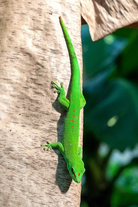 Grosser Madagaskar-Taggecko (Phelsuma Madagascariensis Grandis)