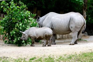 Nashornmutter mit Jungtier