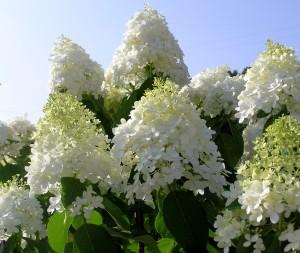 Limelight Hydrangea Tree Blossoms