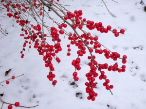 Red Sprite Winterberry