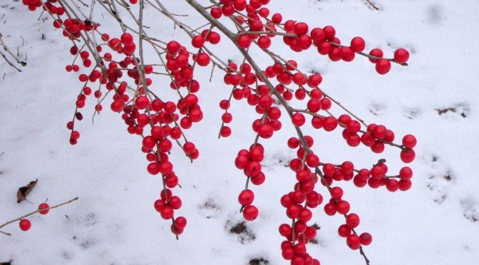 Winterberry in Winter!