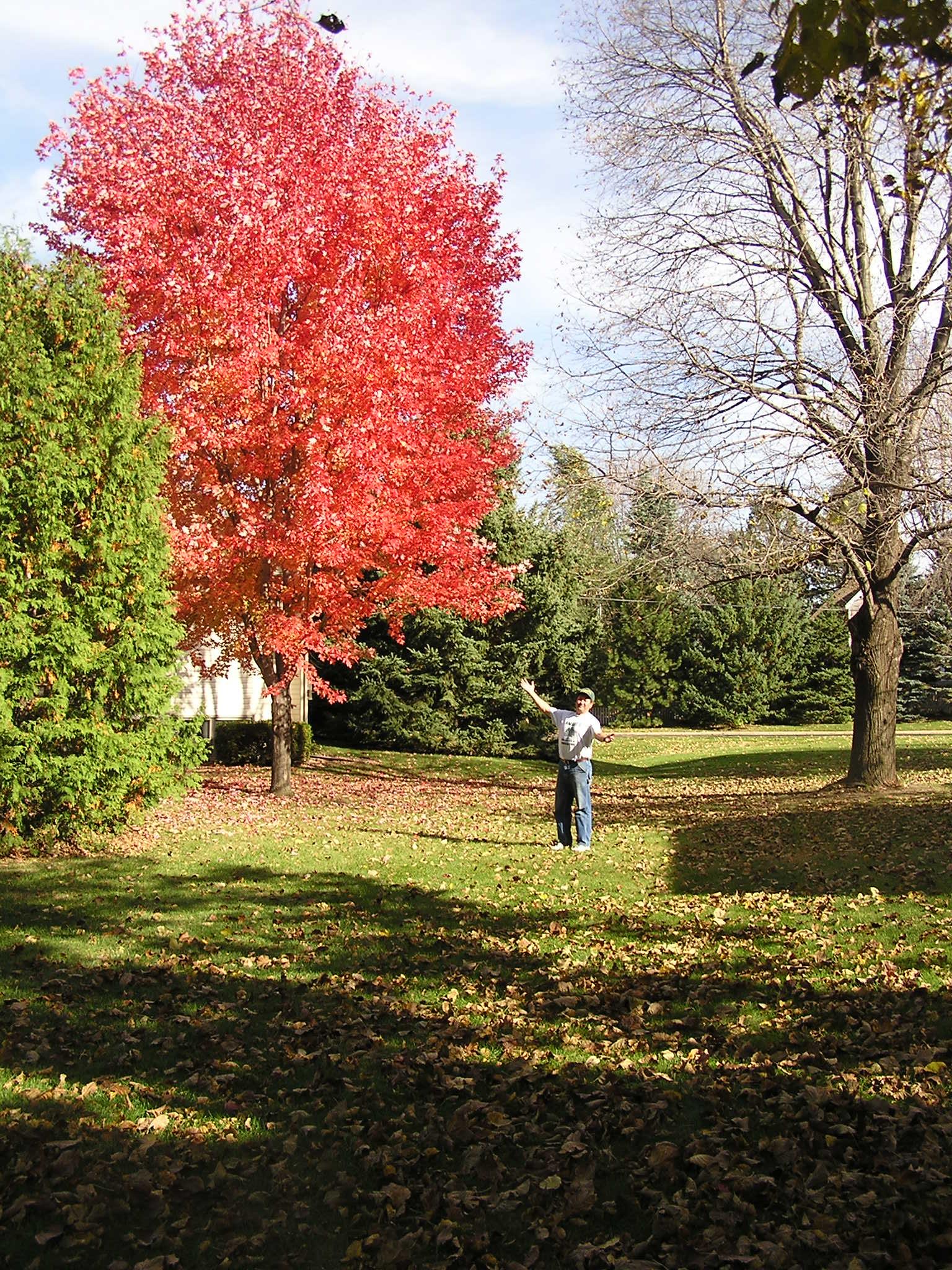 Mature autumn blaze maple