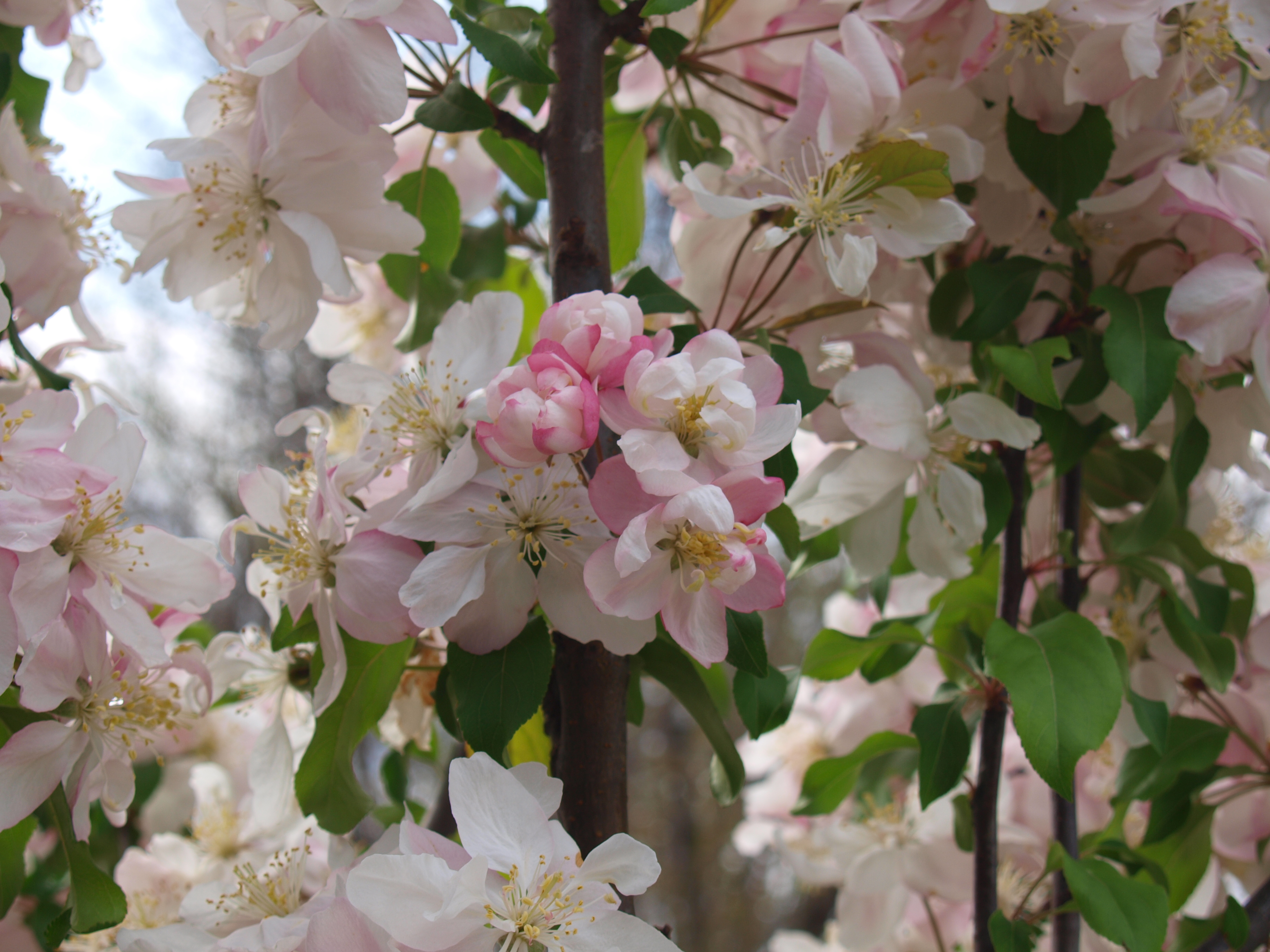 Flowering Crabapple Trees Knechts Nurseries Landscaping
