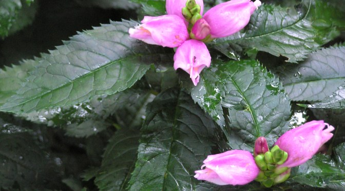 Late Blooming Chelone, Turtlehead