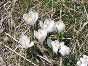 Early Spring Crocus