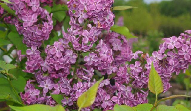 Declaration Lilac