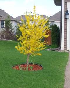 Forsythia - Tree form