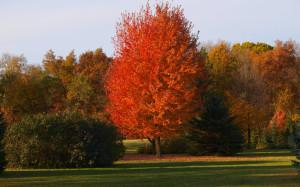 Autumn Blaze - Knecht's