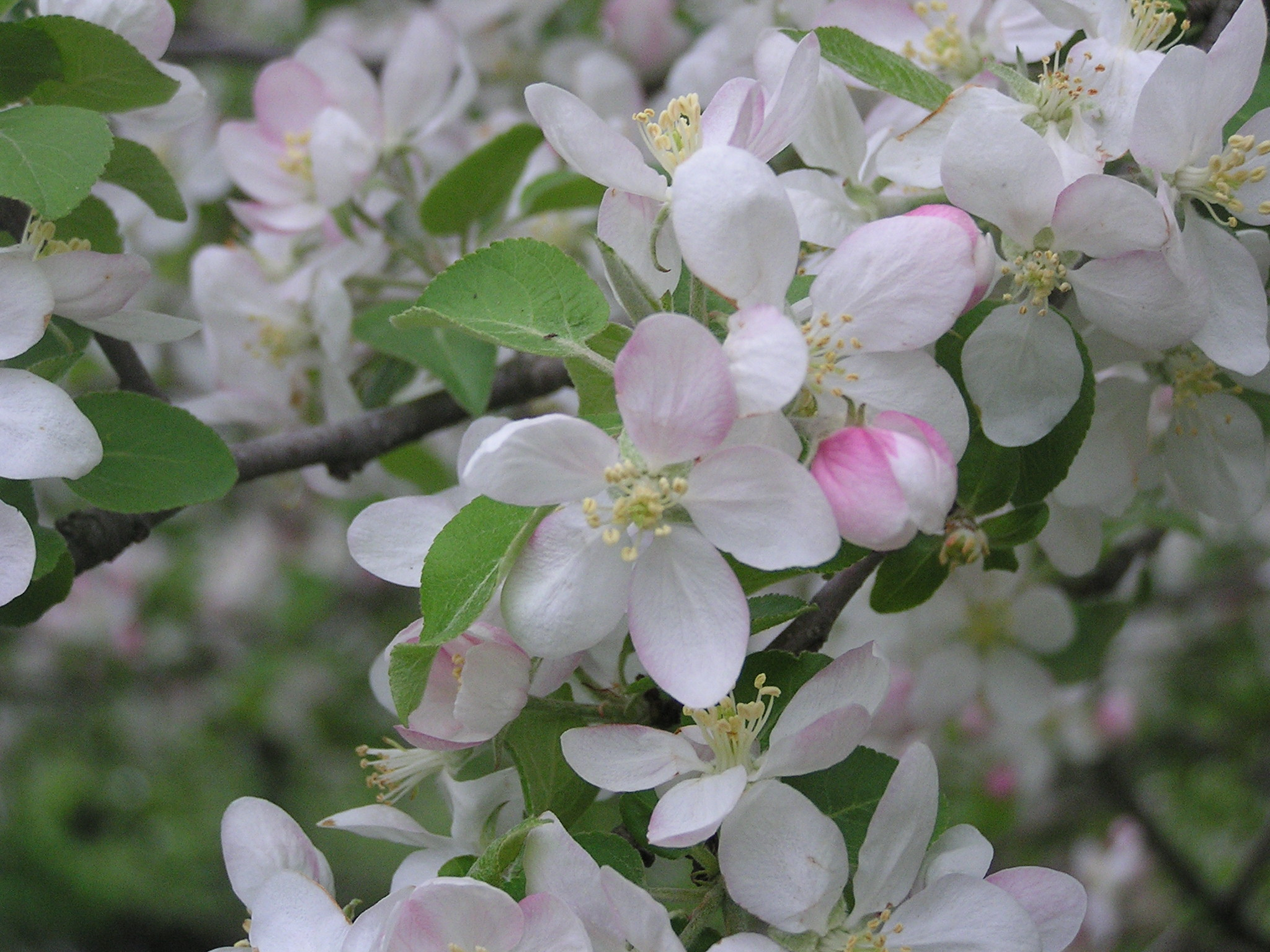 Leif S Favorite Mid To Late Spring Flowering Trees Shrubs