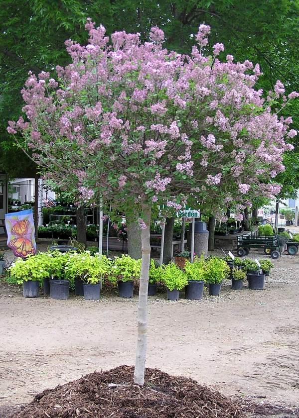 lilac time - knecht's nurseries
