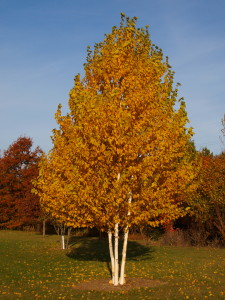 Oasis Paper Birch in the Fall