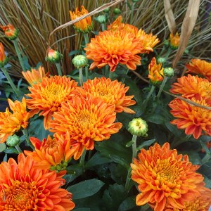 Copper colored Fall Blooming Mum