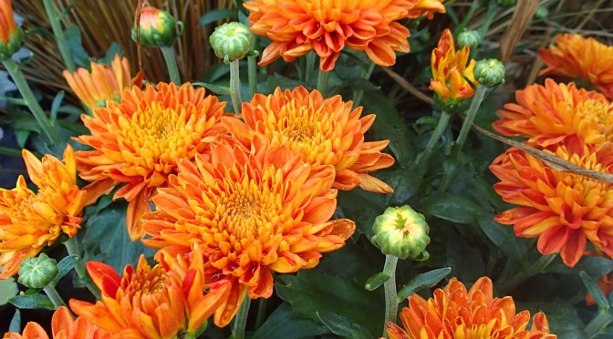 What's Doing the Blooming? Fall Blooming Mums!