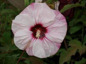 Cherry Cheesecake Hardy Hibiscus