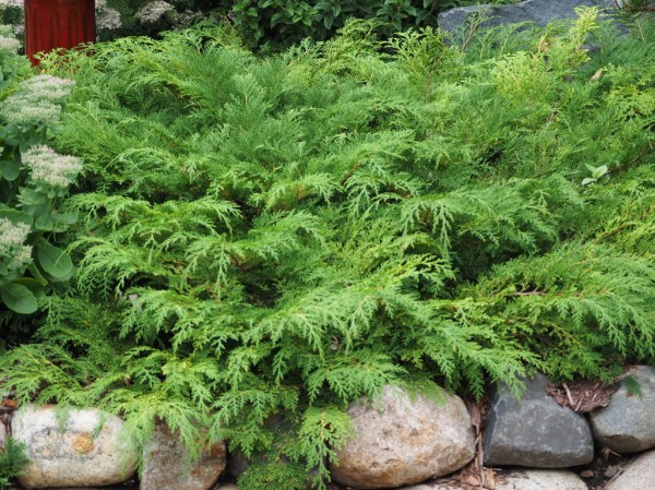 maintenance evergreen shrubs