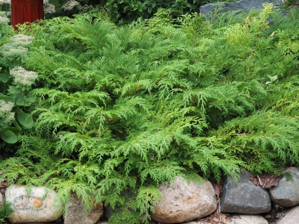 maintenance evergreen shrubs