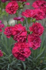 Cranberry Cocktail Dianthus.  Photo courtesy Walters Gardens