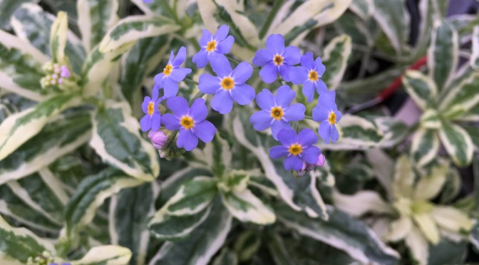 What's Doing the Blooming? Forget-me-not!
