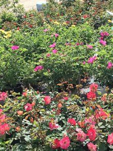 Hardy Shrub Roses
