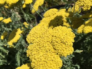 Yarrow Achillea 'Moonshine'