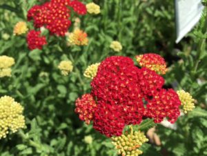 Yarrow, Achillea millefolium 'Strawberry Seduction'