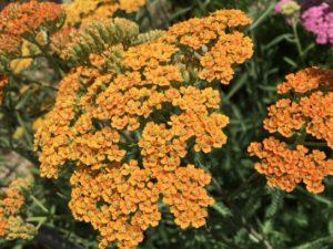 Yarrow, Achillea millefolium 'Terra Cotta'