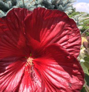 Hibiscus 'Heartthrob'