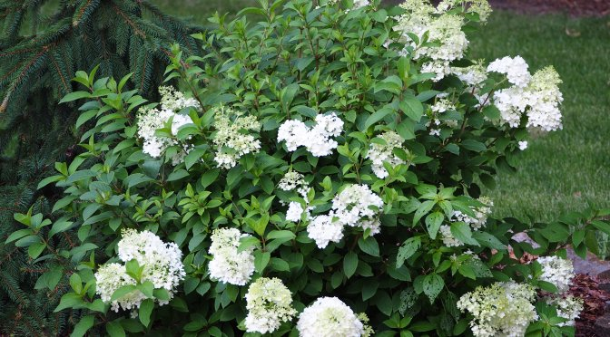 Hydrangeas are in Bloom