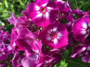 Tall Garden Pholx First Editions Grape Lollipop