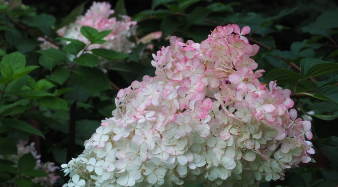 Awesome Flowering with Hydrangeas