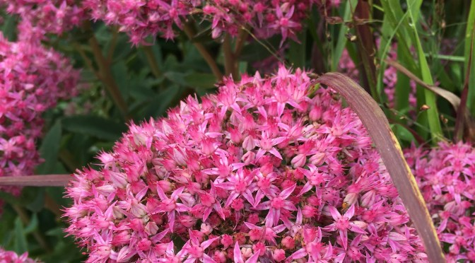 What's Doing the Blooming? Sedum!