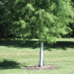 Tree wrap (Bald Cypress Tree)