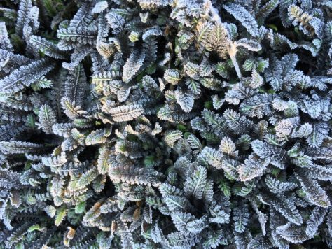 Leptinella Platt's Black covered with October frost!