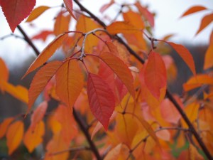 Cherry Trees - Fall Color