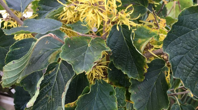 What's Doing the Blooming? Witch-hazel