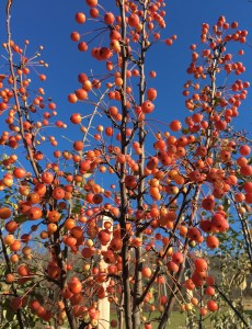 Adirondack Crabapple Showy red flower buds in spring open to snowy white flowers edged in pink. Reddish orange fruits persist into December. A wonderful choice for small spaces and borders. 15-18' Tall and 12-16' Wide. Zone 4-8