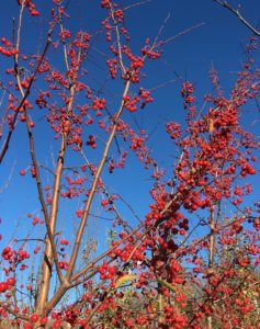 Red Jewel Ornamental Crabapple This small ornamental tree provides year round interest. Brilliant white flowers in spring turn to bright red, persistent fruit in fall. An excellent selection. 15' Tall and 12' Wide. Zone 4-8.