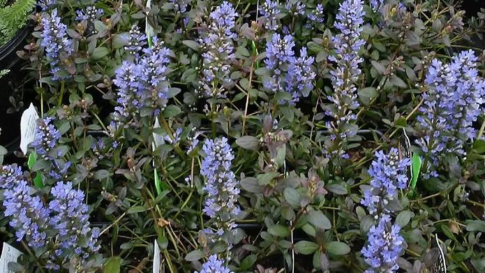 Blooming Scilla Bulbs And Ajuga Knecht S Nurseries