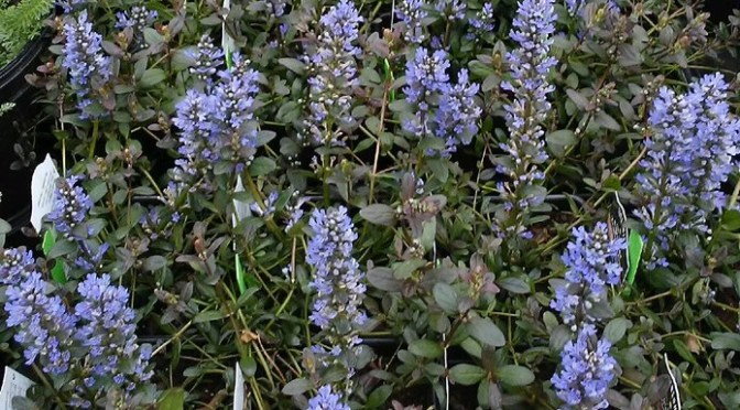 Blooming Scilla Bulbs and Ajuga