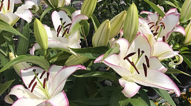 Stargazing with Oriental Lilies