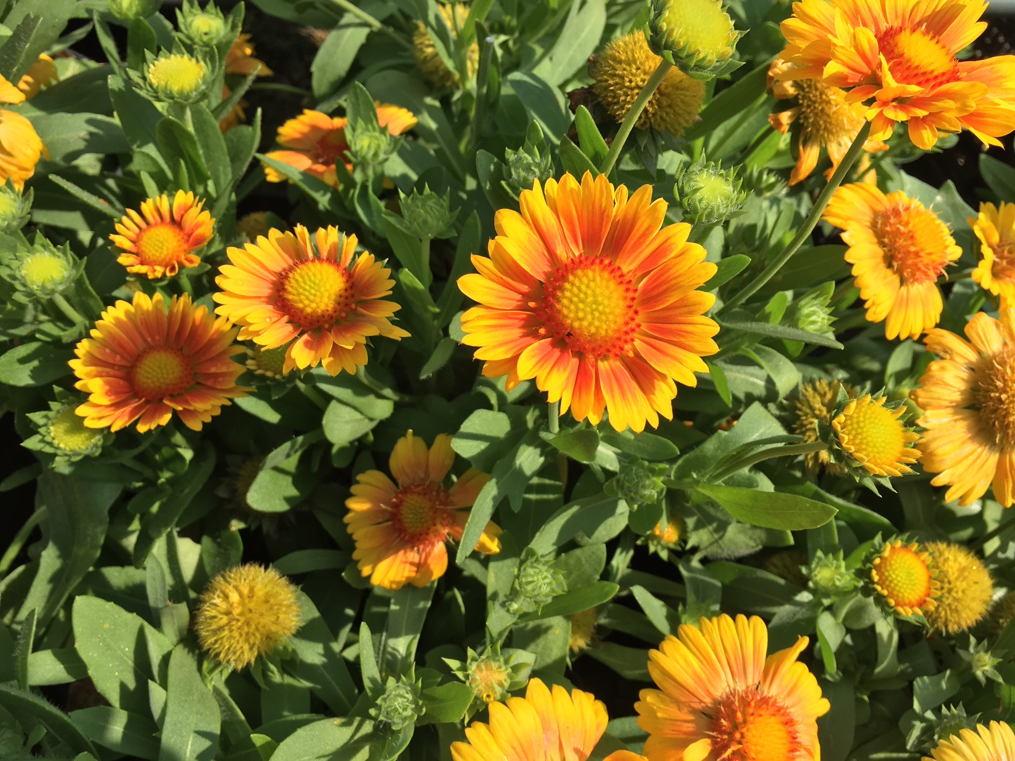 Gaillardia Blanket Flower Knechts Nurseries Landscaping