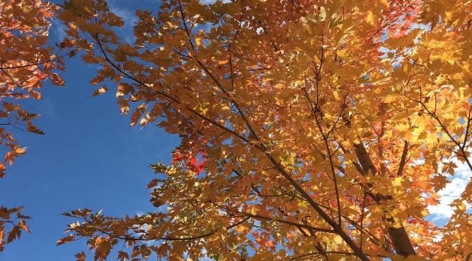 Celebration (Maple) in Fall!
