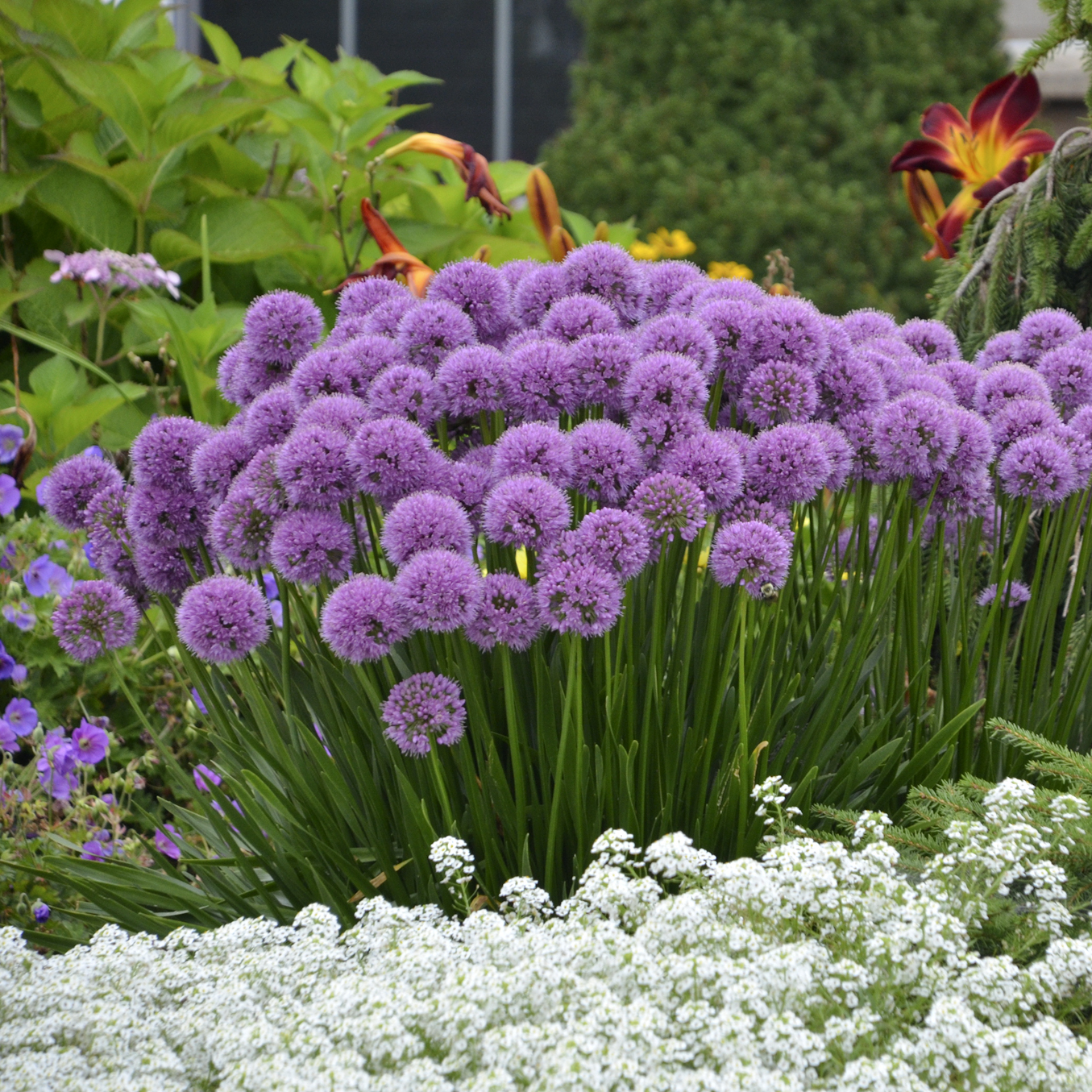 Allium 'Millenium', 2018 Perennial Plant of the Year ...