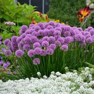 Allium 'Millenium', 2018 Perennial Plant of the Year!