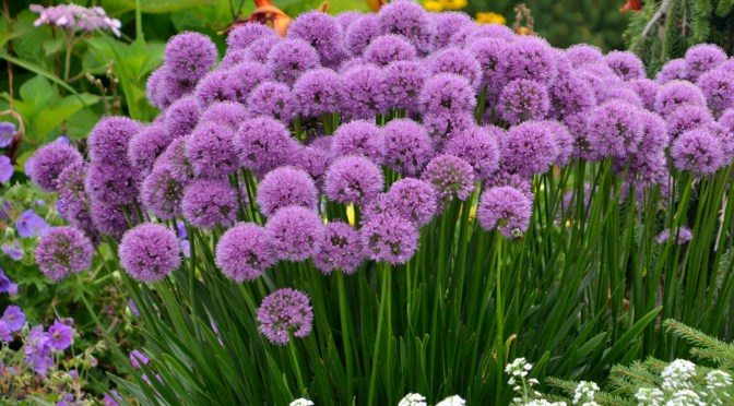 Allium 'Millenium', 2018 Perennial Plant of the Year!