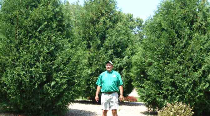 Arborvitae for Screening and Windbreaks