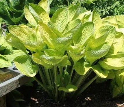 New Hostas – H. World Cup and H. First Blush