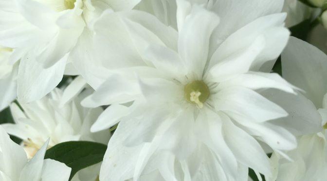 Miniature Snowflake Mockorange